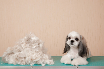 Most Adorable Shih Tzu Hairstyles Short And Long Shih Tzu Hairstyles